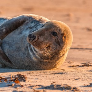 grey-seal-1969506_1920