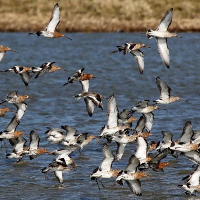 grutto-groep-landing-in-het-water-bij-skrok